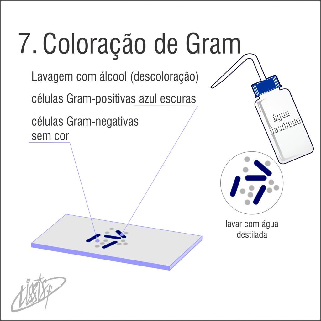 Coloração de Gram